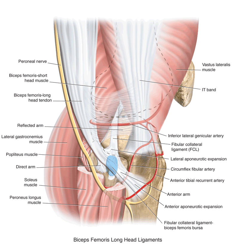 biceps femoris long head