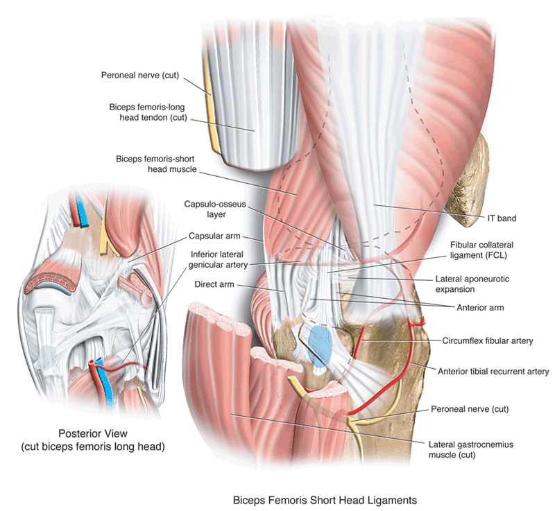 relationship of biceps femoris to the posterolateral corner