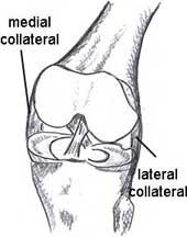 Site of the collateral ligaments