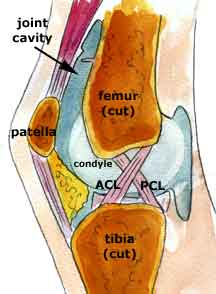 Cruciate ligaments from inside the knee