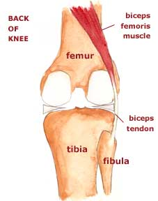 biceps tendon