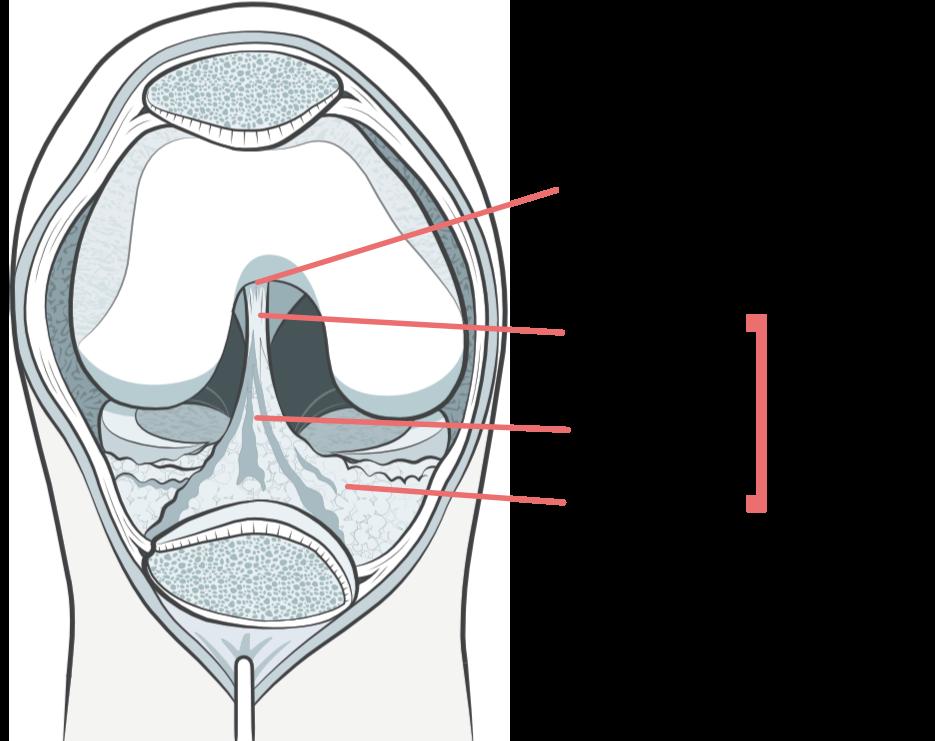 BACKGROUND ANATOMY - The Infrapatellar Plica | KNEEguru