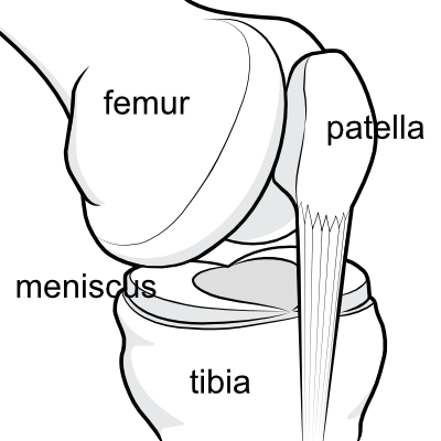 knee joint showing the meniscus