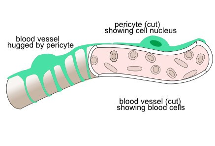 blood vessel with pericyte
