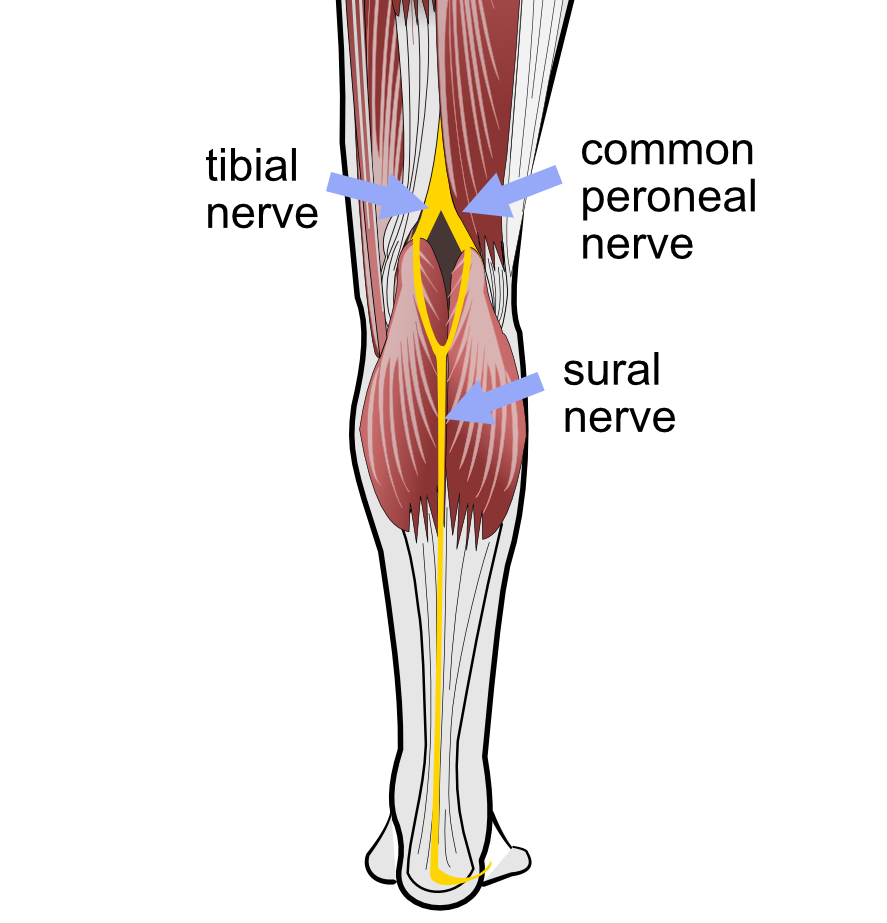 Peroneal nerve
