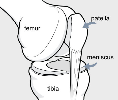 meniscus and bones of knee